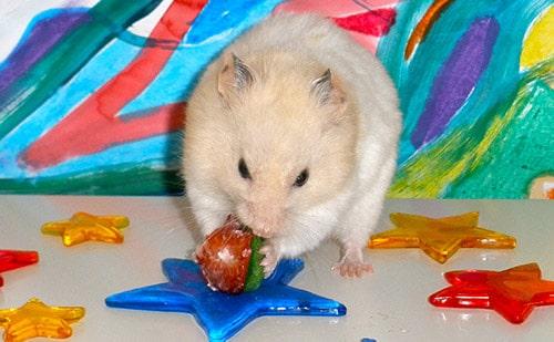 Simpatico criceto mentre mangia