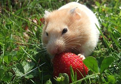 Il criceto può mangiare le Fragole? In Quali Quantità?