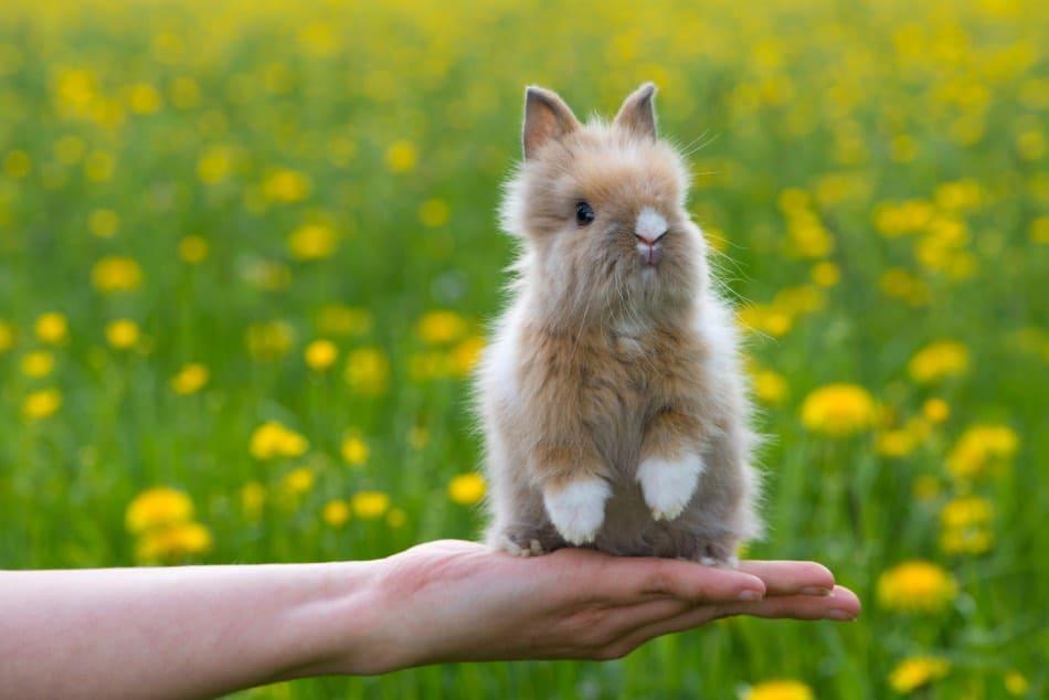 Coniglio nano  dimensioni