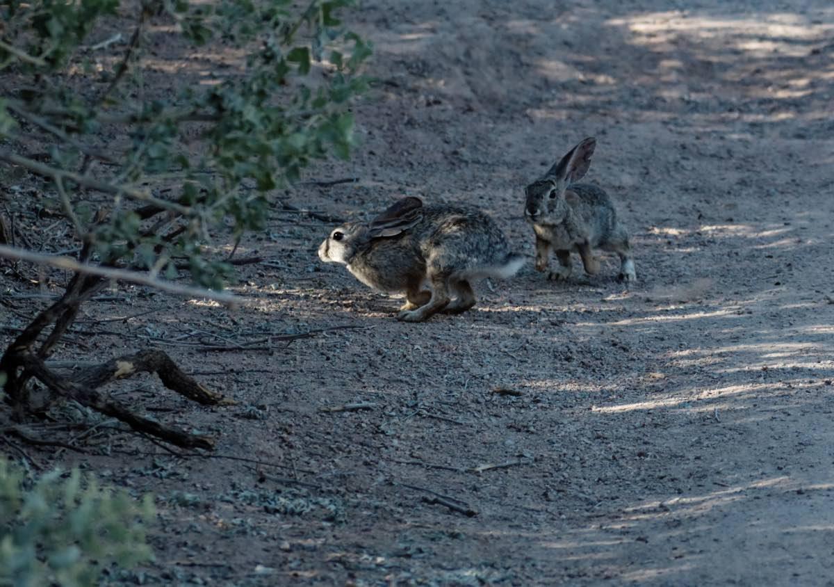 Perché I Conigli Battono Le Zampe Posteriori?