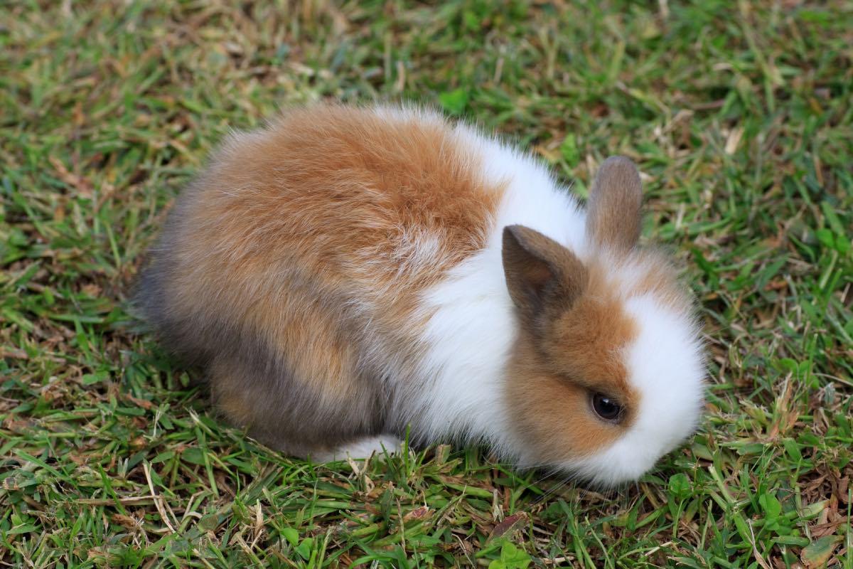 Perché I Conigli Nani Perdono Il Pelo?