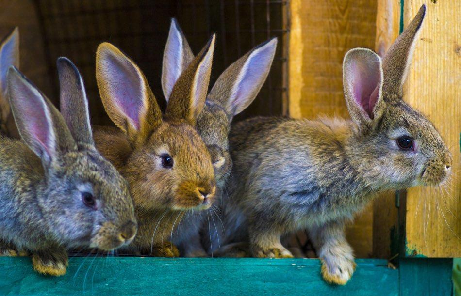 Piccoli di coniglio