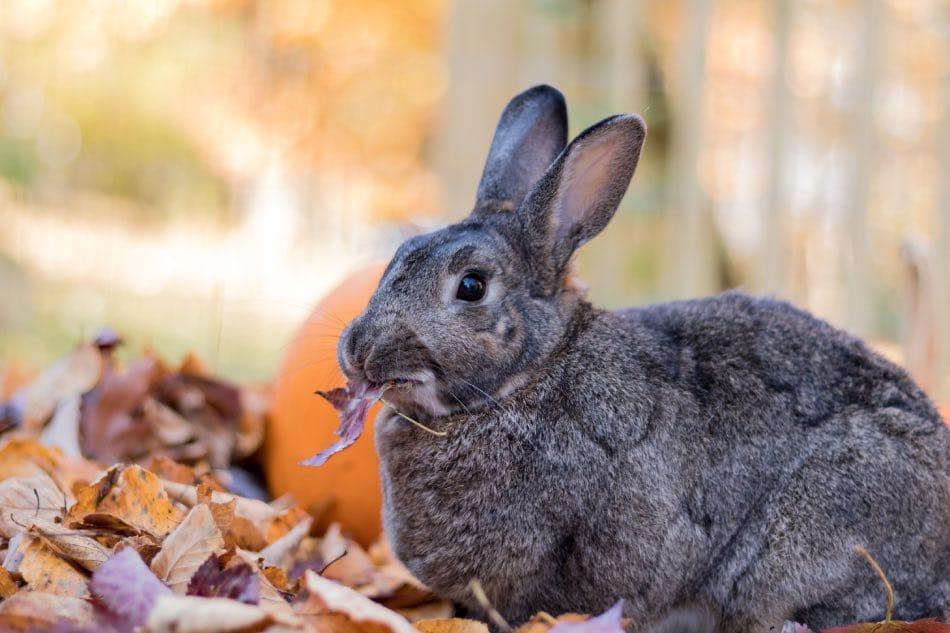 Rami e Foglie d'acero per conigli