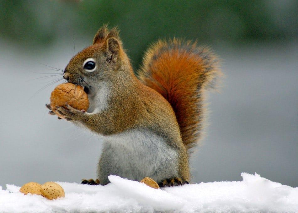 Scorte Alimentari Inverno Scoiattolo