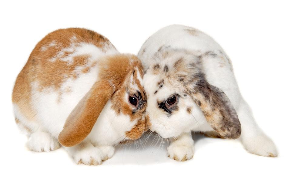 conigli litigano