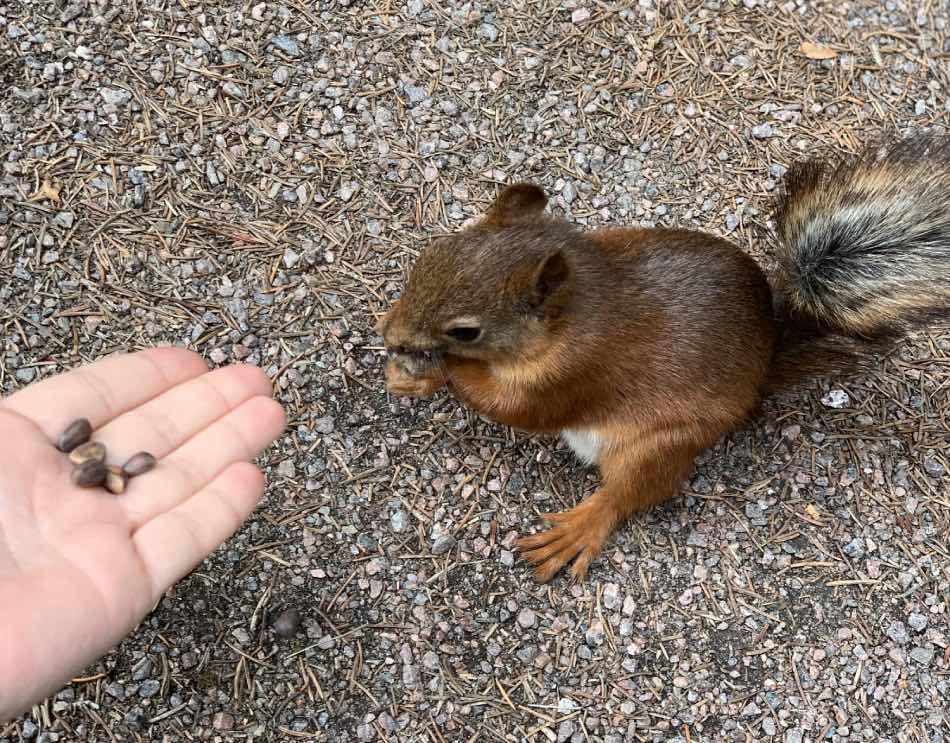 dare cibo ad uno scoiattolo selvatico
