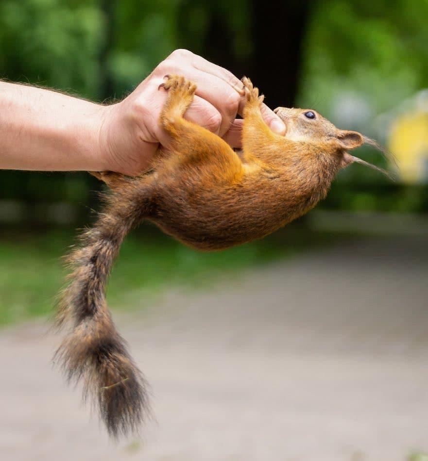scoiattolo che morde