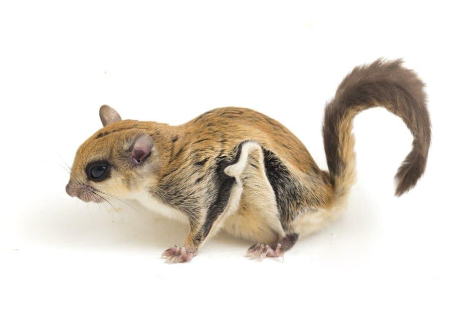 scoiattolo volante