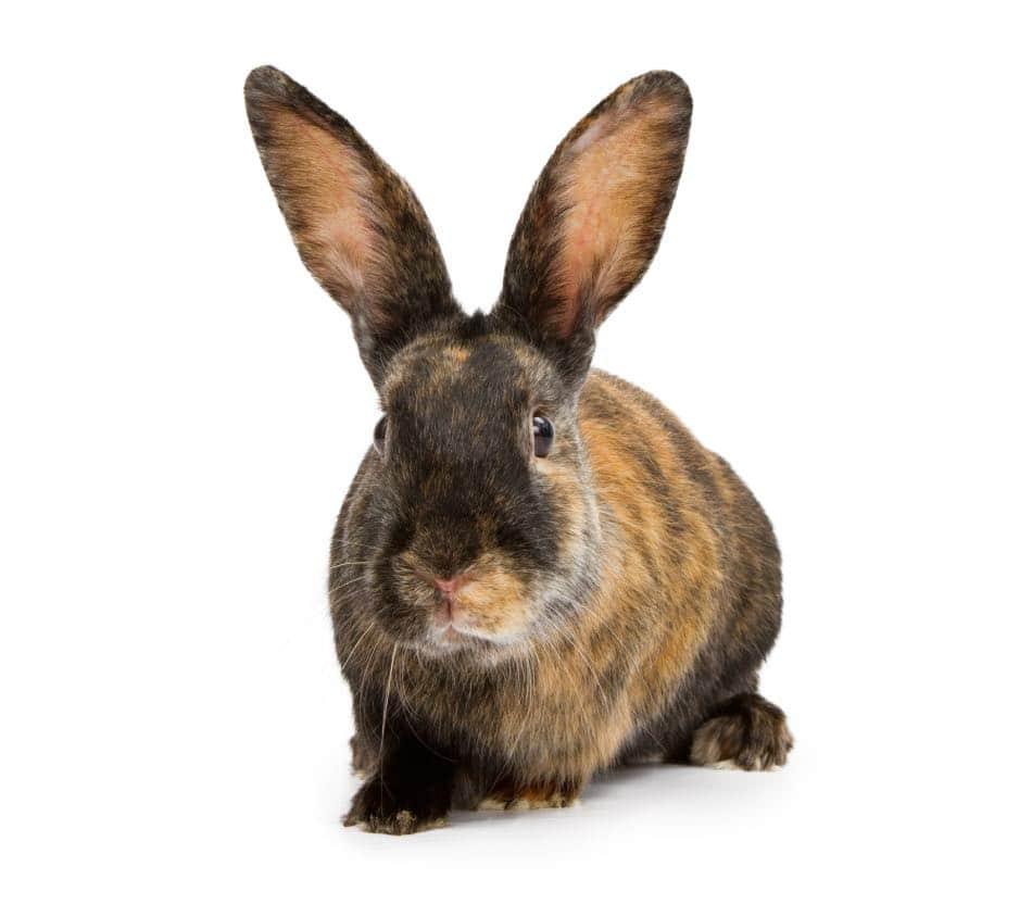 Coniglio Arlecchino