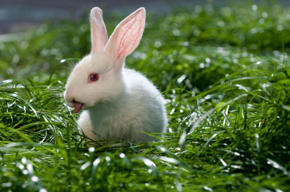 Coniglio Polacco