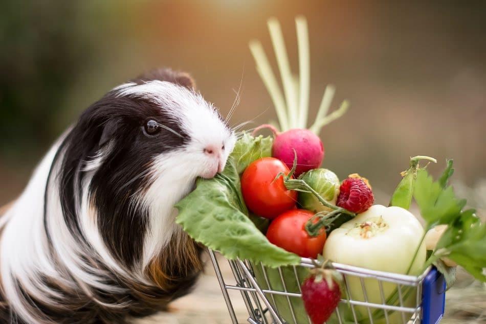 Cavia mangia frutta