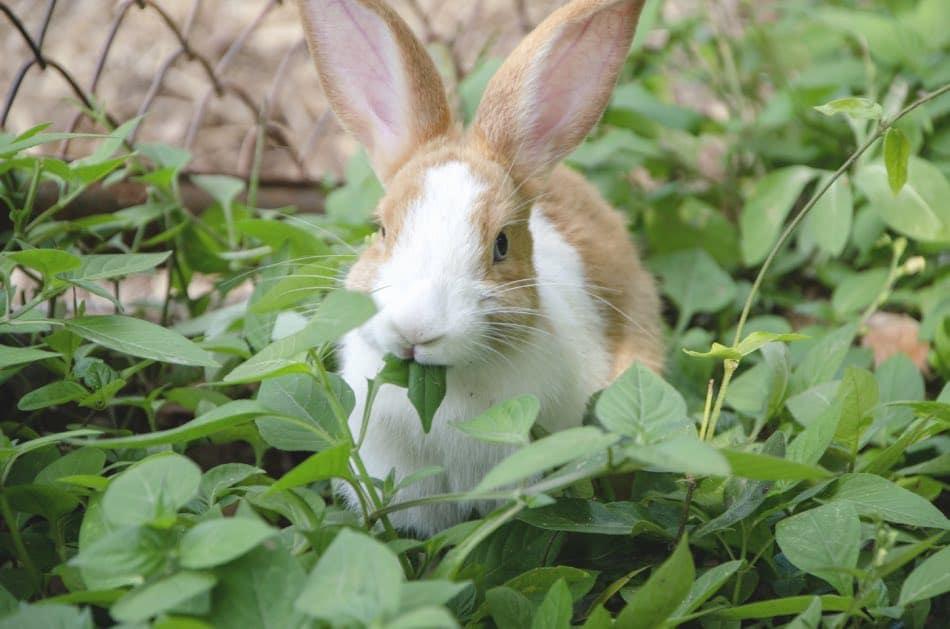 coniglio mangia foglie