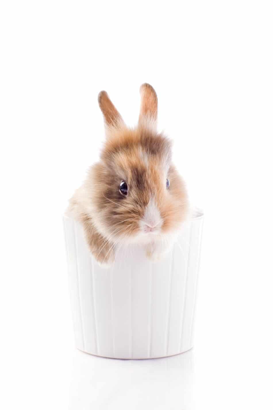 coniglio nano gioca-2