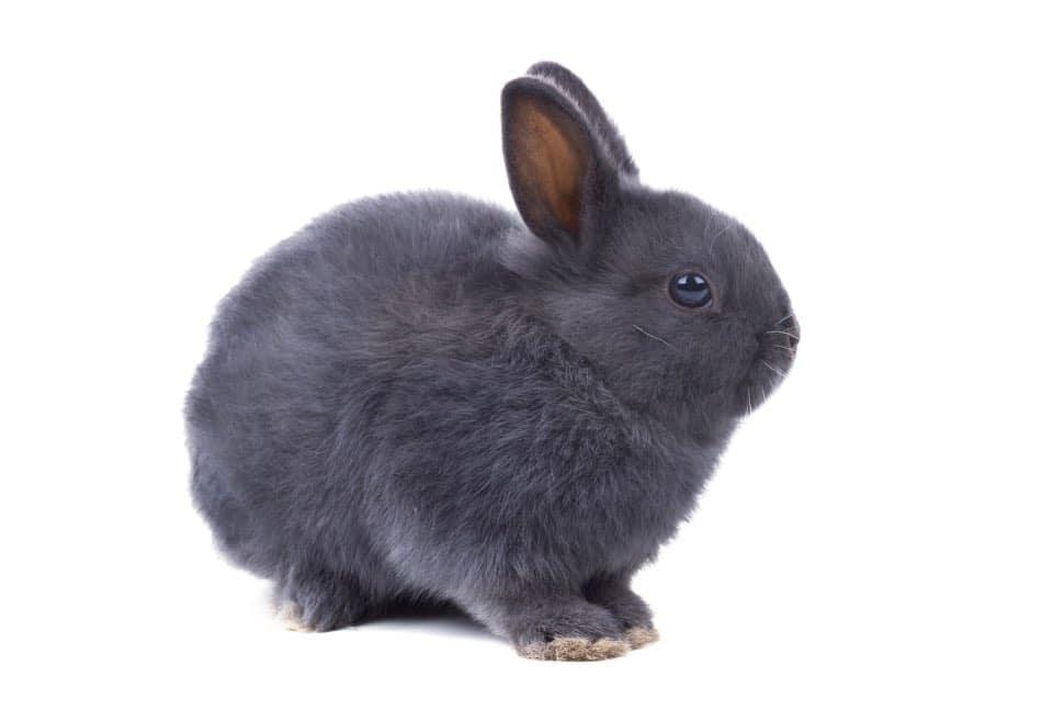 coniglio nano mantello grigio