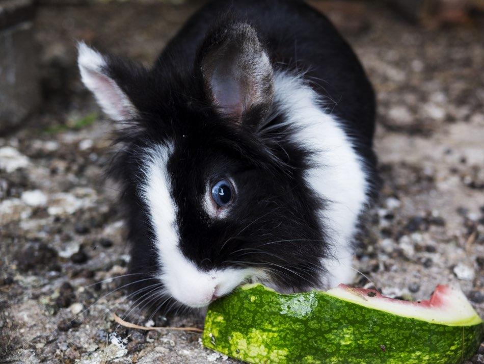 Coniglio in bianco e nero che mangia anguria