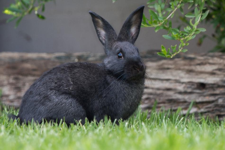 Come Capire Se Un Coniglio È Felice?