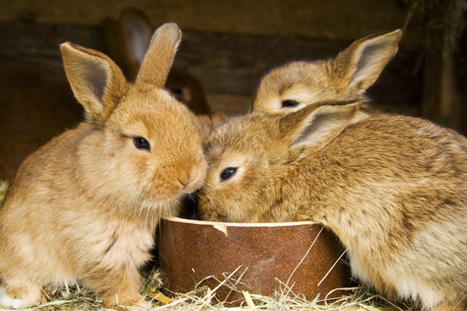 Piccoli conigli