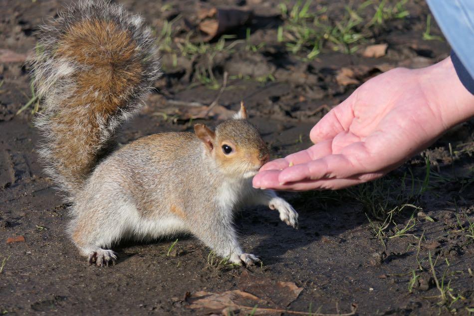 raro scoiattolo volante